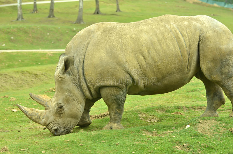 White Rhino. The white or wide-nosed rhinocerus (ceratotherium simum) the largest of the 5 rhino species and the the largest land mammal after the elephants stock image