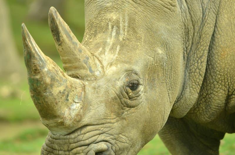 Download White Rhino Stock Photo - Image: 24425990