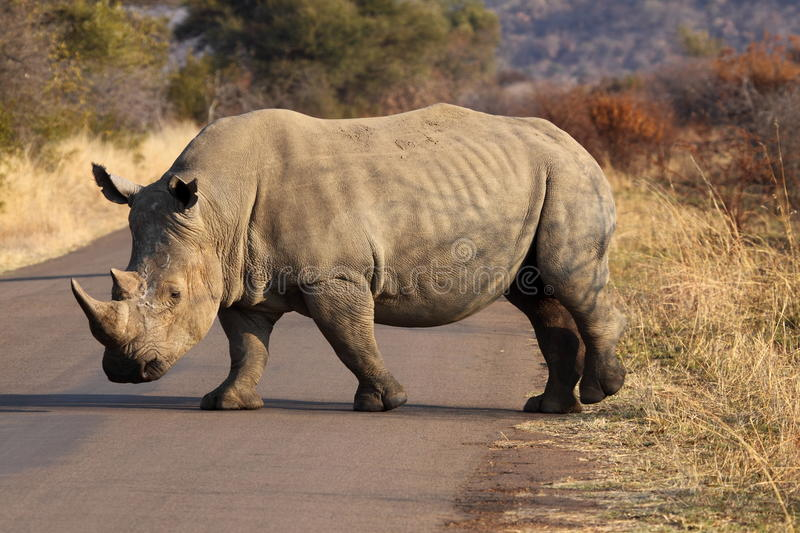 White Rhino. Crossing the road in Pilanesberg GR stock photos