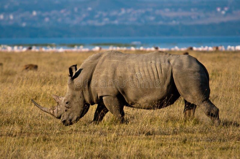 White Rhino. A White Rhino Grazes the shores of Lake Nukuru royalty free stock images