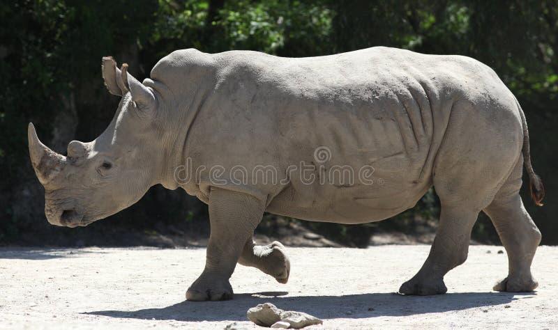 White Rhino. On dark green background royalty free stock photography