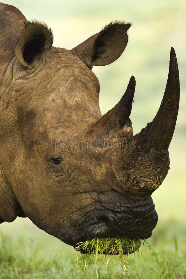 White Rhino. Eating grass in the early morning stock image