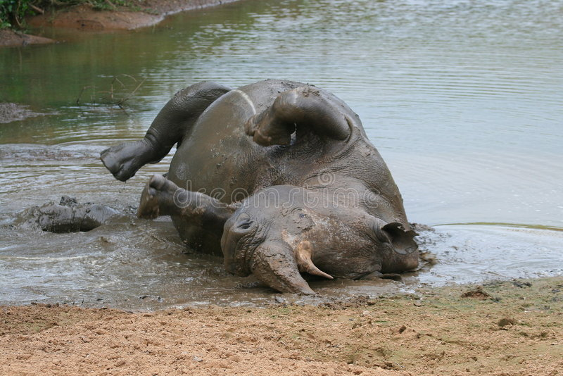 White Rhino. Bull rolling in the muddy waterhole royalty free stock photo