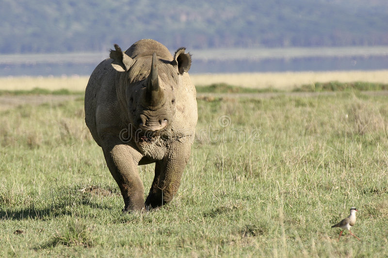 White Rhino. Ready to charge stock image