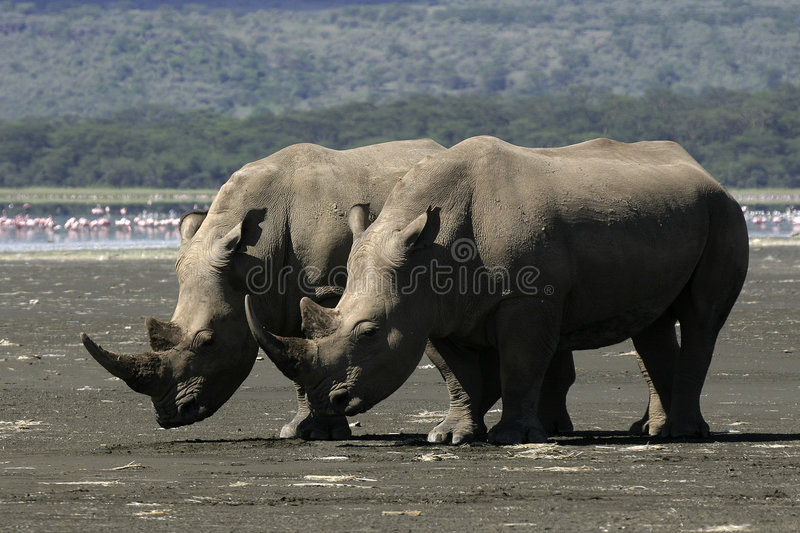 White Rhino. Couple on lake shore royalty free stock image