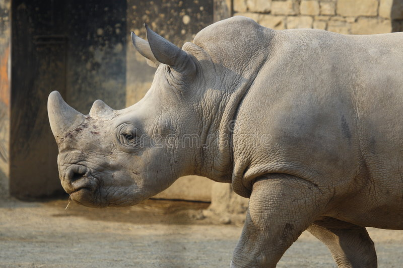White Rhino. A white rhino taking a walk stock photos