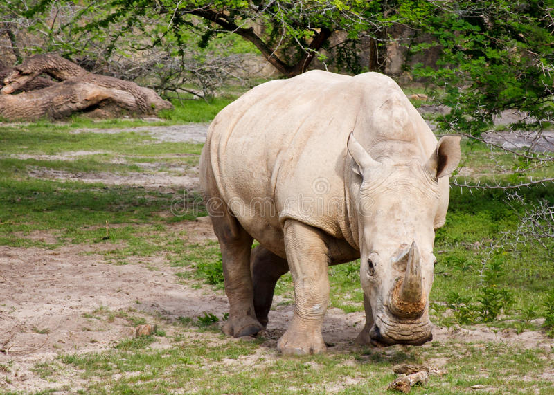 White rhino. One white rhino facing camera while grazing among patches of green grass royalty free stock images