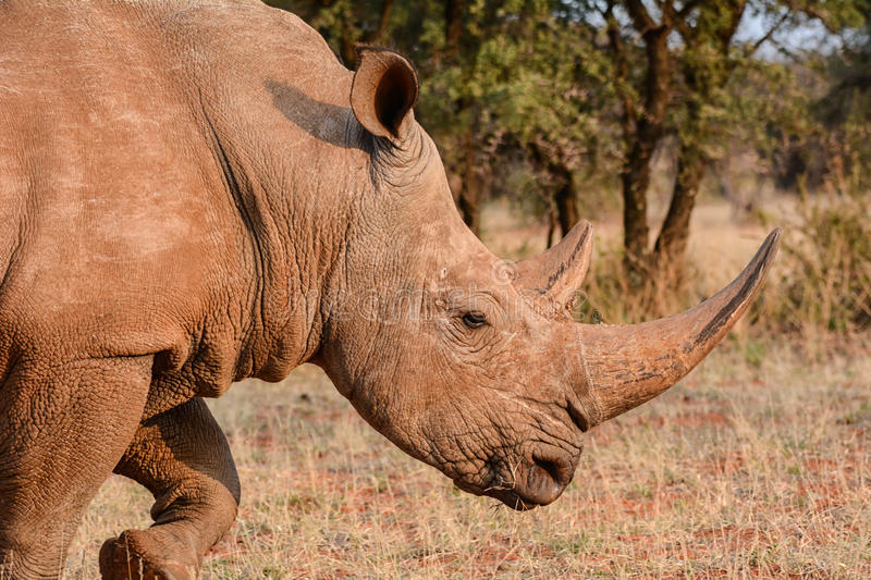 White Rhino. Adult White Rhino in Southern African savanna royalty free stock photo