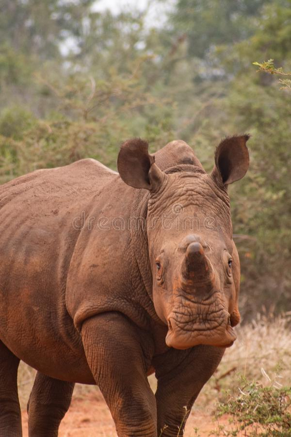 White Rhino in Africa. White Rhinoceros, looking directly at camera in wild. African Safari, Color photo taken in late afternoon. educational, cute image of stock photography