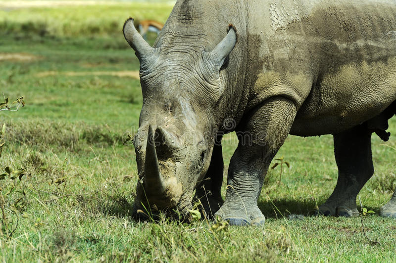 White rhino. In the African natural habitat. Kenya royalty free stock image