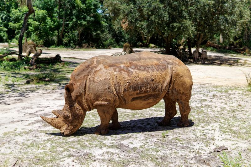 White Rhino at Animal Kingdom. Orlando, Florida royalty free stock photo