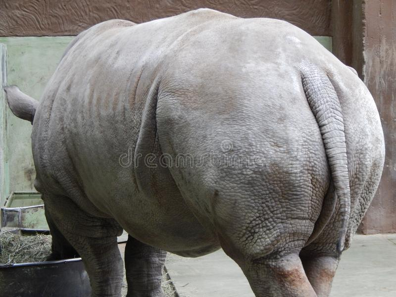 White rhino in aviary. Details royalty free stock images