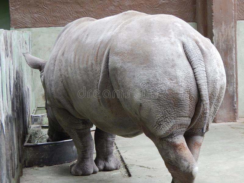White rhino in aviary. Details royalty free stock photos