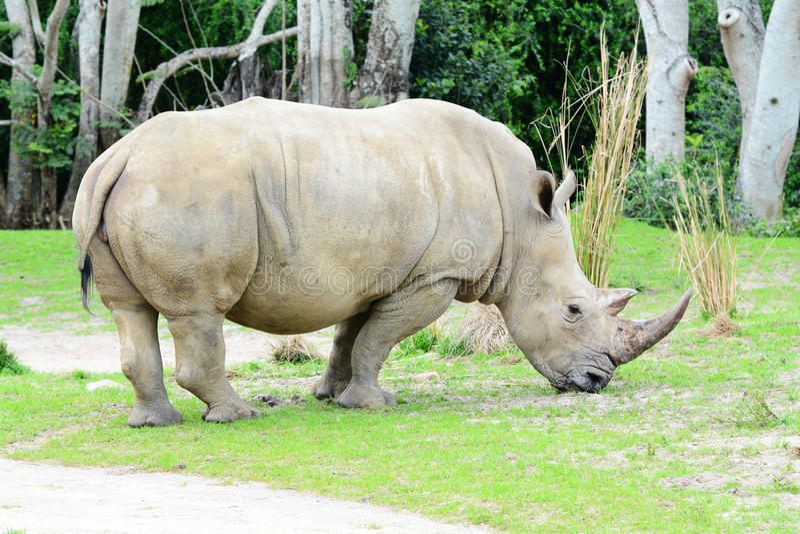 White Rhino. Big white Rhino with a nice horn bull eating grass stock photo