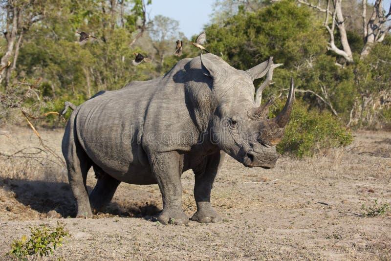 White Rhino bull stock photo