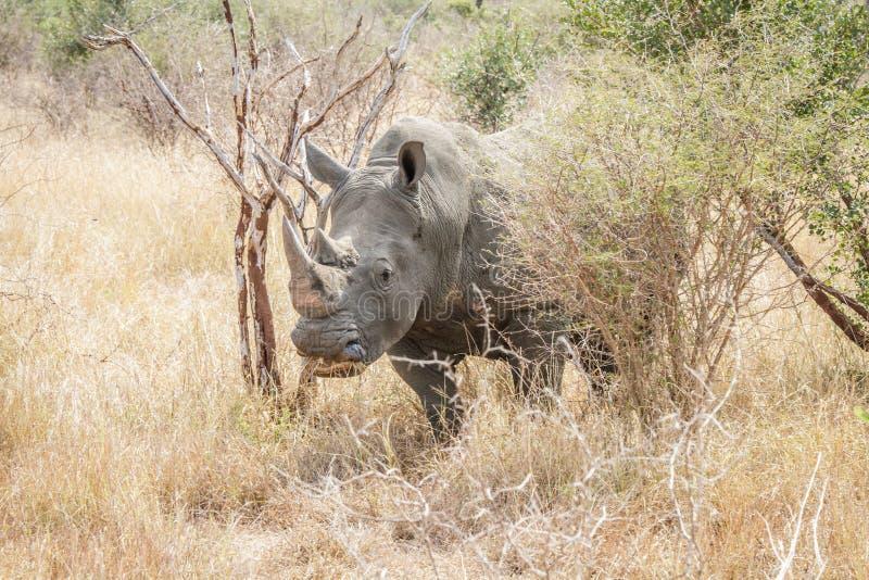 Download White rhino in the bush. stock image. Image of safari - 83720239