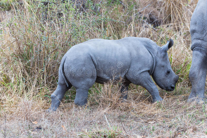 White Rhino Calf. Kruger NP, South Africa stock image