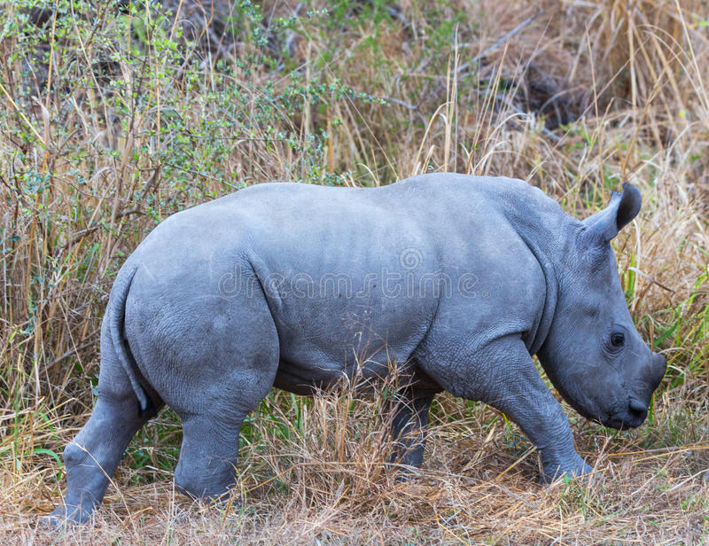 White Rhino Calf. Kruger NP, South Africa royalty free stock photos