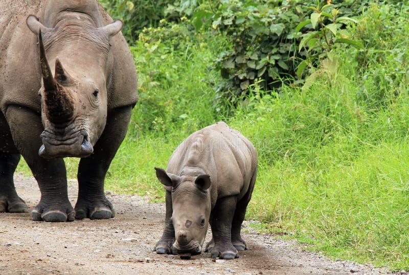 White Rhino Calf With Mother. White Rhino (Ceratotherium Simum) With Calf, Lake Nakuru, Kenya stock photo