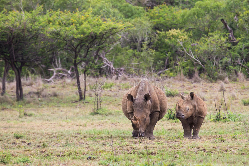 White Rhino and calf in South Africa stock photos