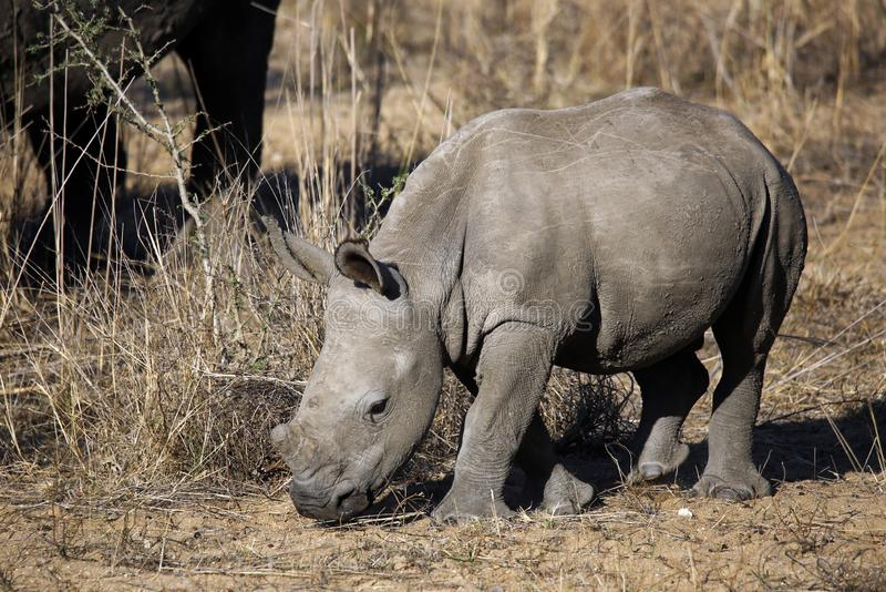 White Rhino Calf. Ceratotherium simum. Modlito Game Reserve, Kruger Park, South Africa royalty free stock images