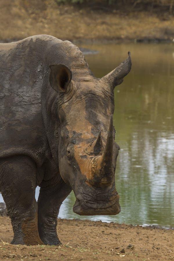 White Rhino(Ceratotherium simum). Ceratotherium simum close up taken on a walking safari in Swaziland stock photography