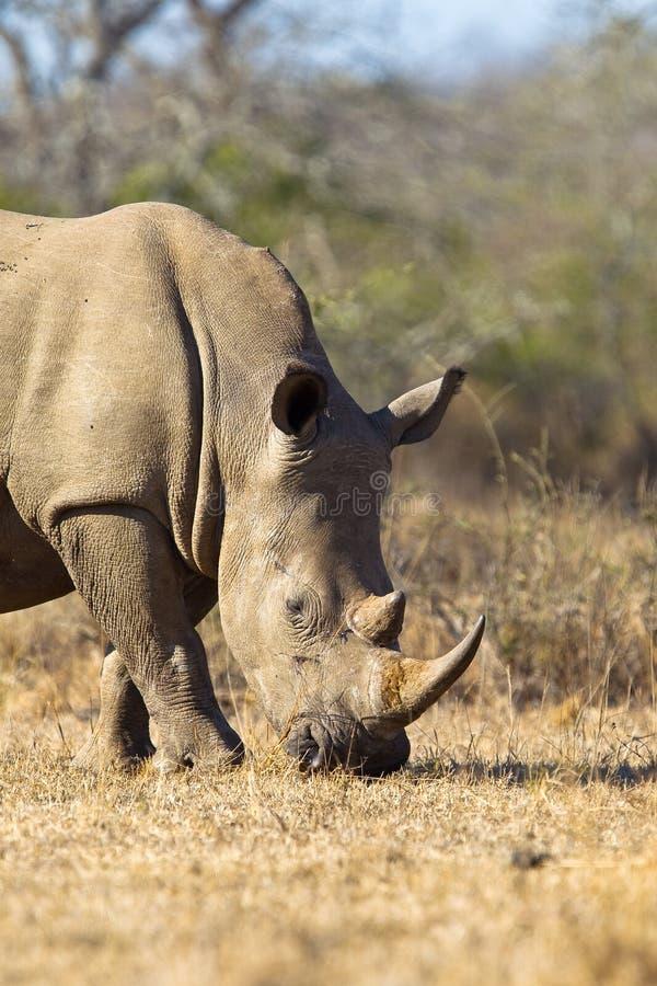 White Rhino. (Ceratotherium simum) grazing dry grass royalty free stock images
