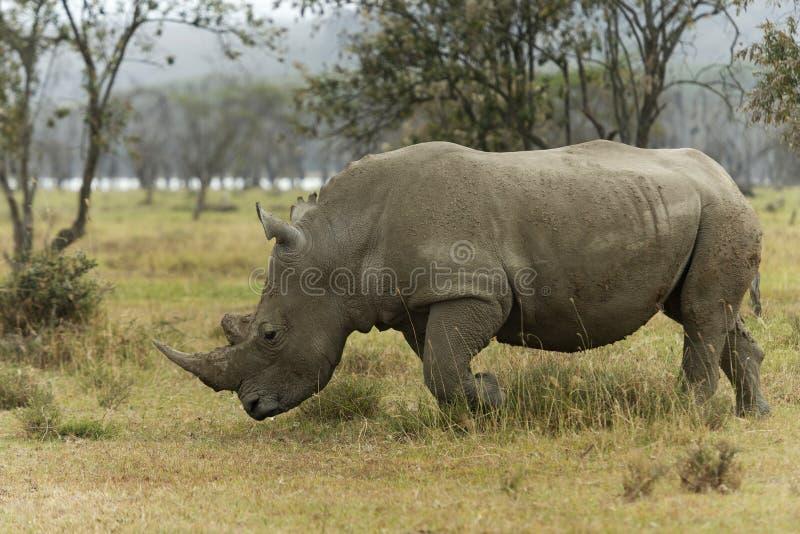 White Rhino, Ceratotherium simum grazing in lake Nakuru, Kenya, Africa royalty free stock images