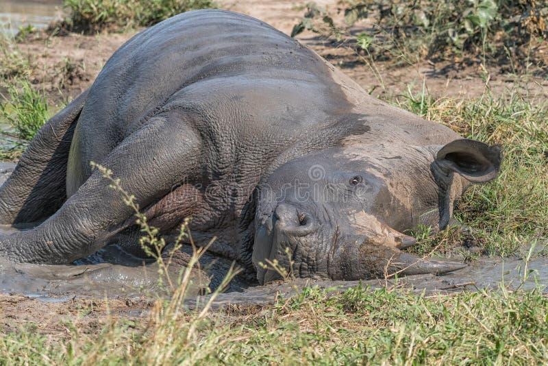 White rhino taking a mudbath. A white rhino, Ceratotherium simum simum, taking a mudbath royalty free stock images