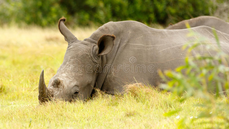 White Rhino Chilling. Kragga Kamma Game Park in Port Elizabeth lush coastal forest and grassland is home to vast herds of African game royalty free stock photography