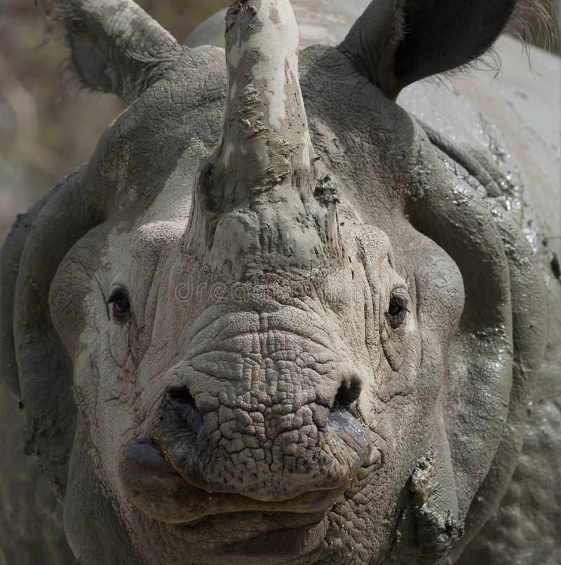 White Rhino close-up. Approaching white rhino close-up shot royalty free stock photos