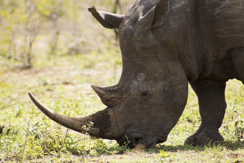 White Rhino close up. White Rhino captured in the wilderness of Hluhluwe Imfolozi Reserve, KwaZulu-Natal, South Africa royalty free stock image