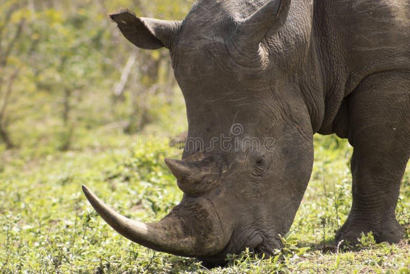 White Rhino close up. White Rhino captured in the wilderness of Hluhluwe Imfolozi Reserve, KwaZulu-Natal, South Africa stock photos