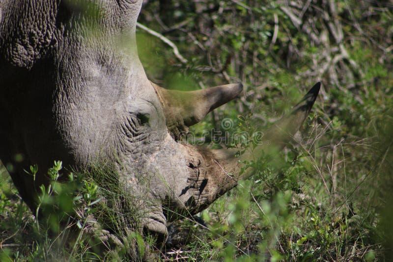 White Rhino close up. White Rhino captured in the wilderness of Hluhluwe Imfolozi Reserve, KwaZulu-Natal, South Africa royalty free stock photography