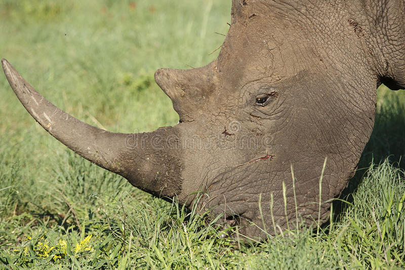 White Rhino. Close-up of a White Rhinoceros (Ceratotherium simum), grazing in a game park in South Africa stock image