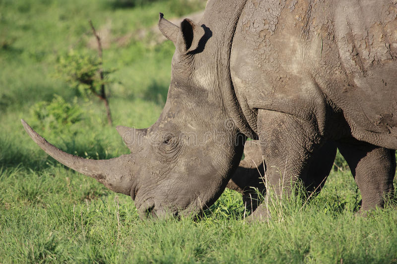 White Rhino. Close-up of a White Rhinoceros (Ceratotherium simum), grazing in a game park in South Africa stock photo