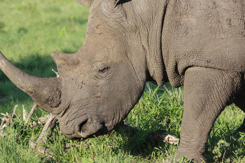 White Rhino. Close-up of a White Rhinoceros (Ceratotherium simum), grazing in a game park in South Africa royalty free stock photo