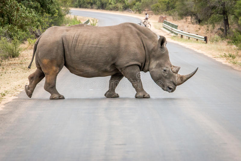 White Rhino crossing the road in the Kruger National Park, South. Africa stock image