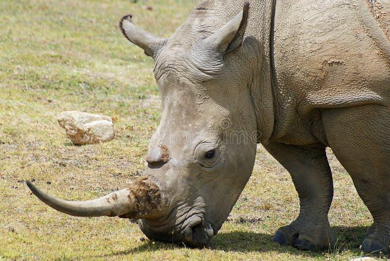 White rhino eating stock image