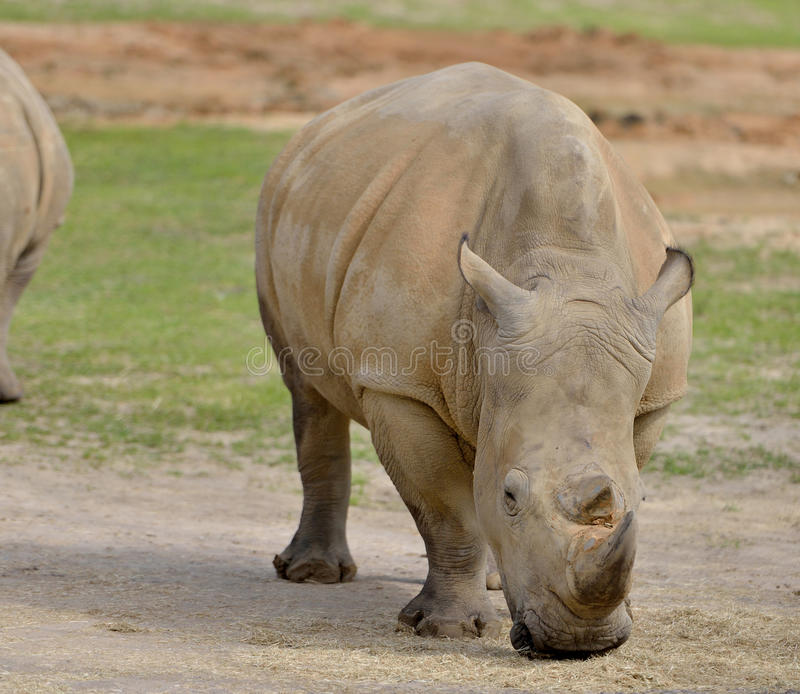 White Rhino eating. White Rhino (Ceratotherium simum) grazing in a clearing stock image