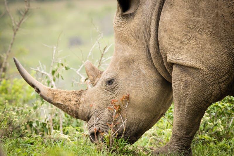 White rhino eating grass. In Hluhluwe-Imfolozi park, South Africa royalty free stock image