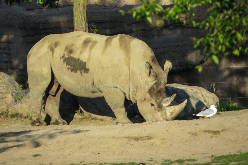 White Rhino. A white rhino eating standing next to a seagull royalty free stock photo