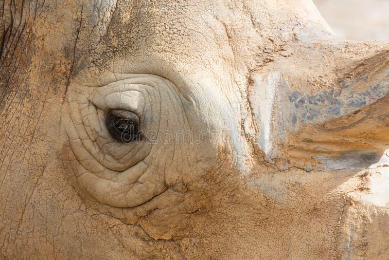 White Rhino Eye. Closeup of White Rhino (Cerathotherium simum) eye and head stock images
