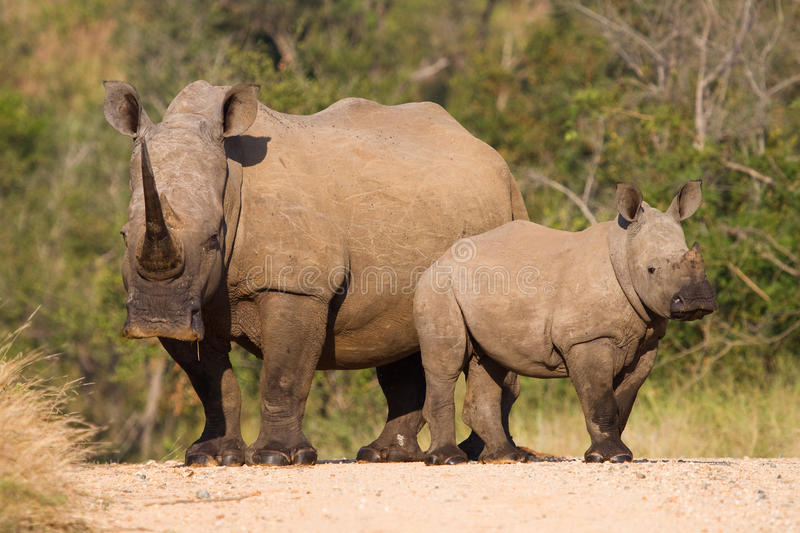 White rhino family. A white rhino mother and calf standing in the road in the Kruger National Park, South Africa royalty free stock photo