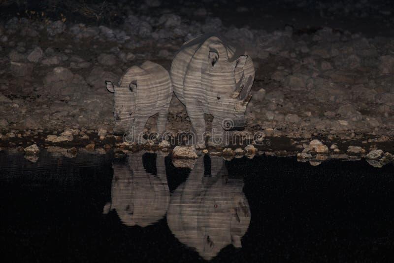 White rhino family at night, etosha nationalpark, namibia. Ceratotherium simum royalty free stock images