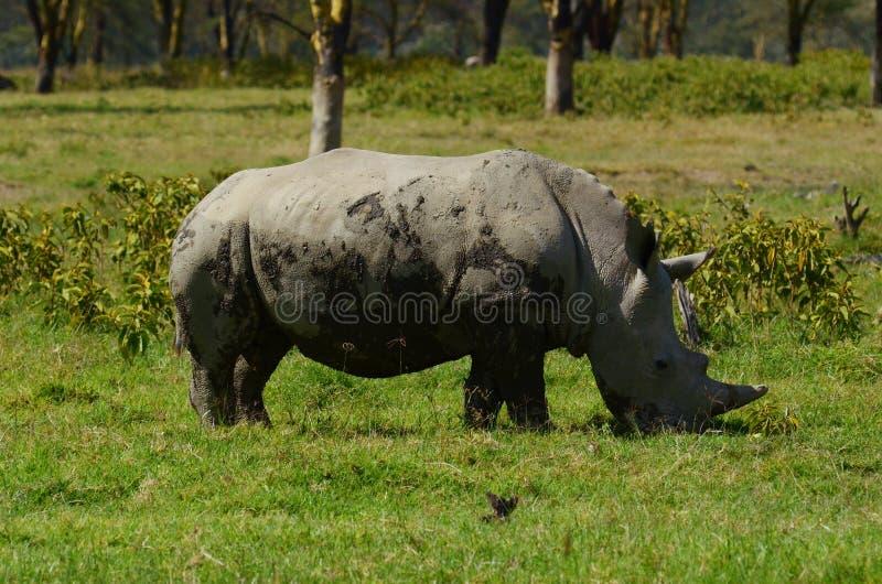 White rhino. Feeding in national park in Kenya stock image