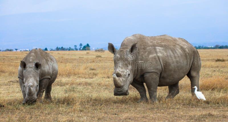 White rhino female with calf. A white rhinoceros Ceratotherium simum female with her half-grown calf. Ol Pejeta Conservancy, Kenya royalty free stock photography