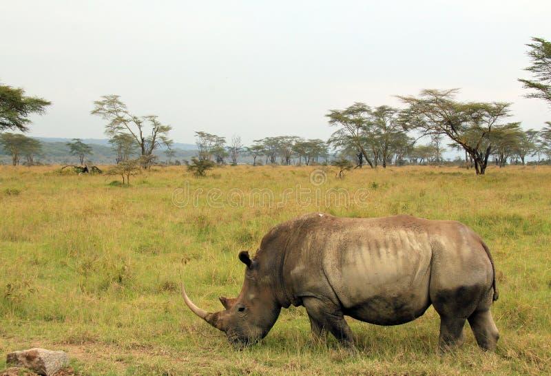 White Rhino on Field. White Rhino (Ceratotherium Simum) on Field, Lake Nakuru, Kenya stock images