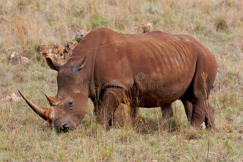 White Rhino grazing. White Rhino have a distinctive square shaped mouth not pointed like the black rhino. Ceratotherium simum Larger than black rhino with males royalty free stock image