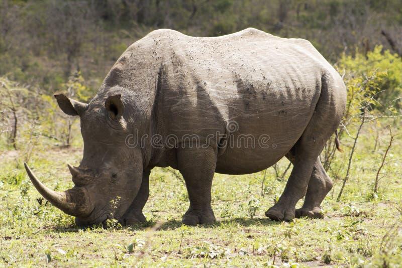 White Rhino grazing. White Rhino captured in the wilderness of Hluhluwe Imfolozi Reserve, KwaZulu-Natal, South Africa royalty free stock image